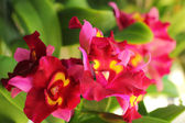 Red-orange orchid flowers in the nature — Stock Photo