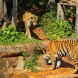Постер, плакат: Tigers in zoos and nature