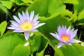 Purple lotus flower in the nature — Foto de Stock