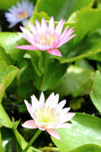 Pink lotus flower in the nature — Stock Photo
