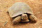 Turtles crawling in the nature — Stock Photo