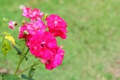 Rose flowers in the nature — Stock Photo