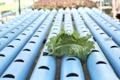 Organic hydroponic vegetables is planted in a garden — Stock Photo