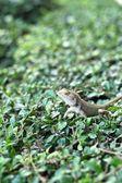 Brown thai lizard on tree — Stock Photo