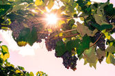 Cluster of red grape and sunshine — Stock Photo