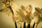 Daffodils filtered effect — Stock Photo
