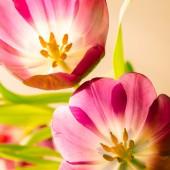 Tulips detail — Stock Photo