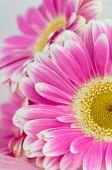 Gerber rosa flor — Foto de Stock