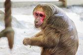 Stump-tailed mascaque monkey — Stock Photo