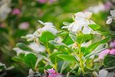 Catharanthus roseus — Stock Photo