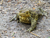 Stones     toad     frog     amphibians — Stock Photo