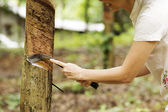 Tapping latex from the rubber tree — Stock Photo