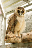 Brown faced owl  — Stock Photo