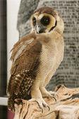Kahverengi yüzlü baykuş — Stok fotoğraf