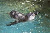 Penguin swimming — Stock Photo