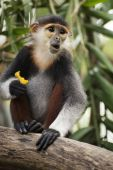 Red-shanked douc langur on the tree  — Stock Photo