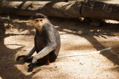 Red-shanked douc langur sitting  — Foto Stock