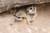 Meerkat in open zoo — Stock Photo