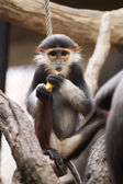 Red-shanked douc langur — Stock Photo