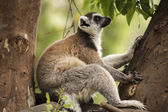 Ring-tailed lemur sitting — Stock Photo
