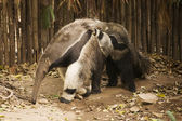 Giant Anteat and baby  — Stock Photo