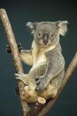 Portrait of male Koala bear  — Stock Photo