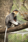 Close up Red-shanked douc langur — Stock Photo