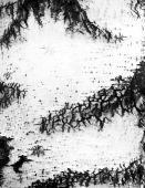 Bark of a birch tree — Stock Vector