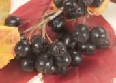 Zwarte chokeberry — Stockfoto