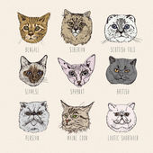 Set of cats. Breeds. Siamese, British, Siberian, Persian, Scottish Fold, Maine Coon, Bengal, Sphynx in doodle hipster vintage style. — Stock Vector