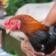 Man hug a Thai fighting cock or Rooster chicken — Stock Photo #52640497