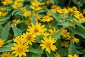 Fiori gialli in giardino — Foto Stock