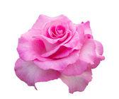 白い背景上に分離されてピンクのローズ — ストック写真