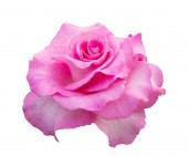 Pink rose isolated on white background — Stock Photo