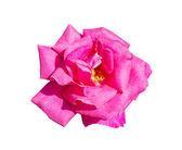 Pink rose isolated on white background — Zdjęcie stockowe