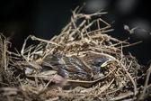 Baby bird in nest — Stock Photo