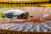 Western Painted Turtle in Pond — Stock Photo