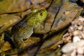 Northern Green Frog in Water — Stock Photo