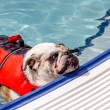 Dogs Swimming in Public Pool — Stock Photo #52906187