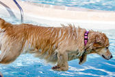 Dogs Swimming in Public Pool — 图库照片