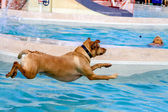 Dogs Swimming in Public Pool — ストック写真