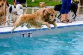 Dogs Swimming in Public Pool — Foto Stock