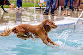Dogs Swimming in Public Pool — Stock fotografie