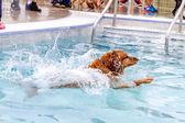 Dogs Swimming in Public Pool — Foto de Stock