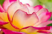 Róże w ogrodzie różanym — Zdjęcie stockowe
