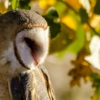 Common Barn Owl in Autumn Setting — Stock Photo #56508987