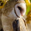 Common Barn Owl in Autumn Setting — Stock Photo #56509023