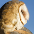 Common Barn Owl in Autumn Setting — Stock Photo #56509245