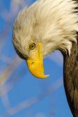 American Bald Eagle in Autumn Setting — Foto Stock