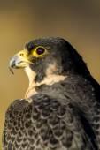 Peregrine Falcon in Autumn Setting — Stockfoto